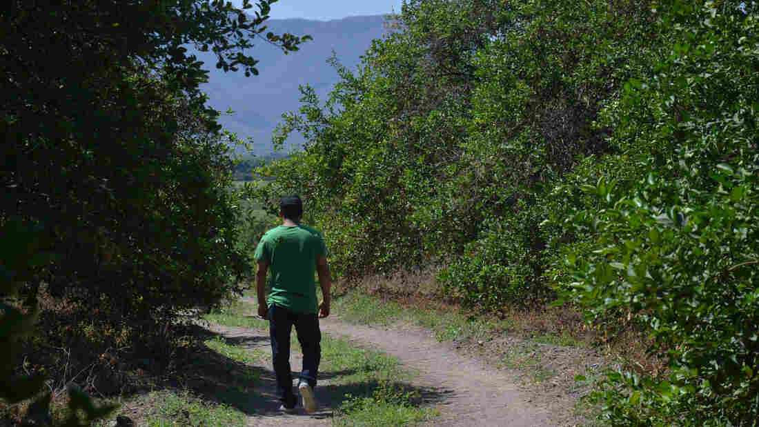 Reny Pineda was born in Michoacan, Mexico, but grew up in Los Angeles. In 2010 he returned to his homeland, and joined a vigilante battle against a ruthless cartel ruling the region. Now the Mexican government has ordered the civilian militias to disband, and Pineda picks lemons in this orchard.