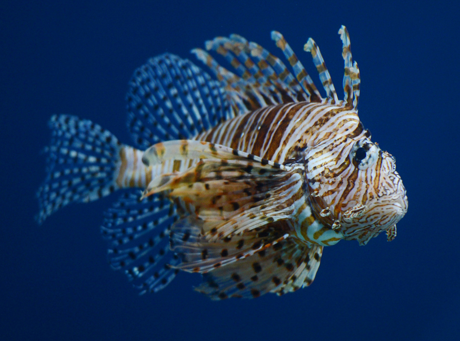 Scientists previously underestimated the ability of the lionfish to live in less salty water. (Mark Ralston/AFP/Getty Images)
