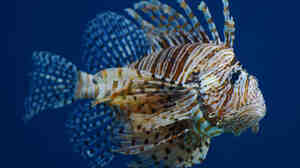 Scientists previously underestimated the ability of the lionfish to live in less salty water.
