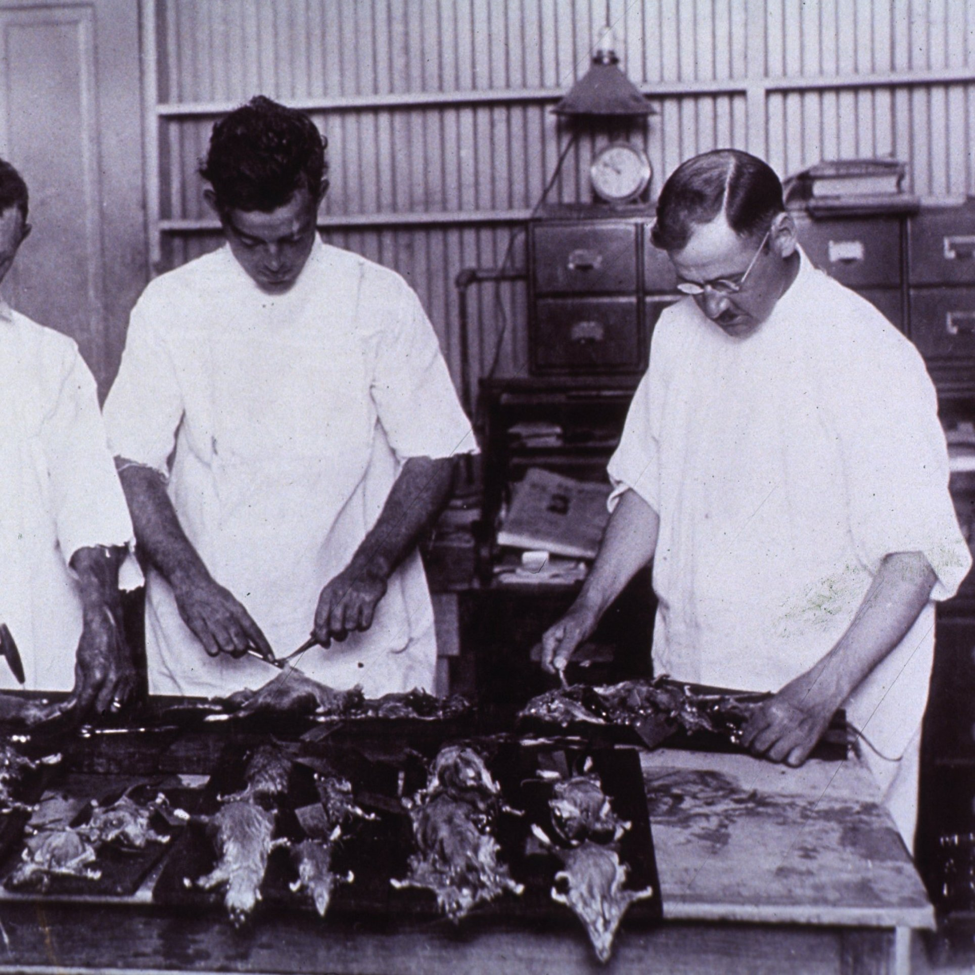 Health officials examine rats for signs of bubonic plague in New Orleans, 1914.
