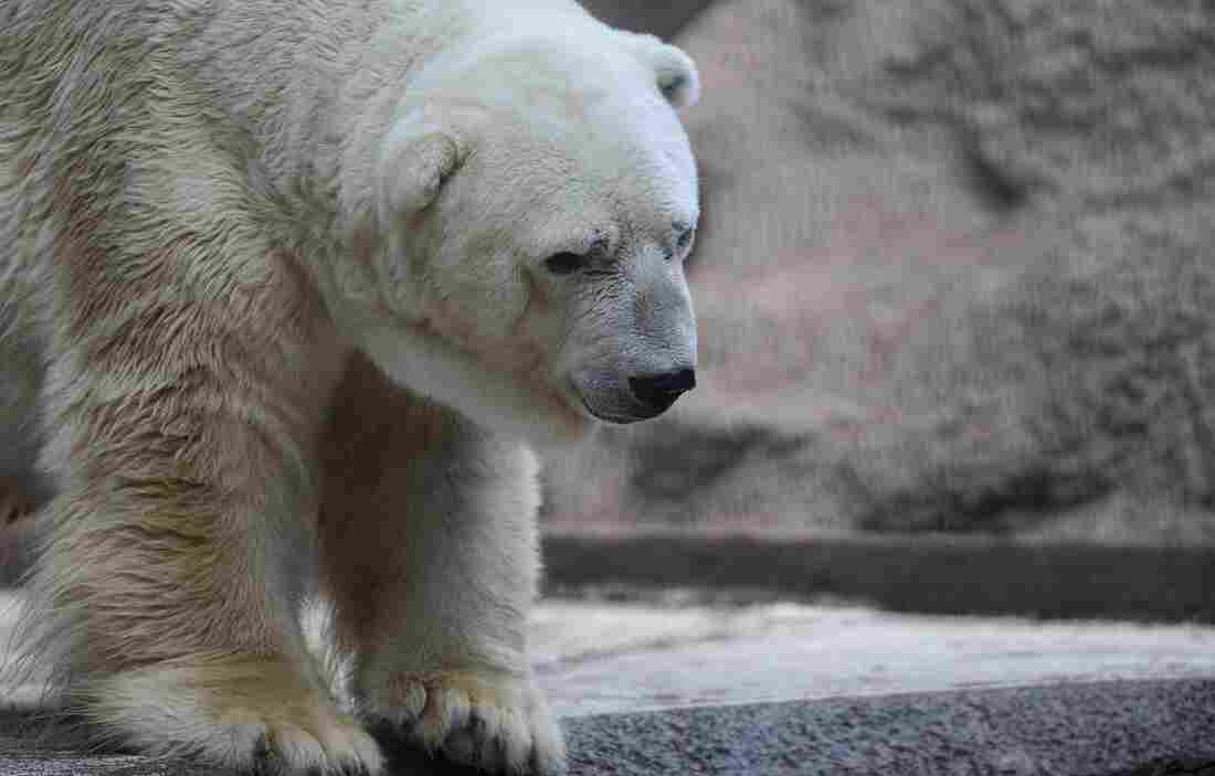 """Arturo, the only polar bear in Argentina, lives in captivity at a zoo in Mendoza. The plight of the """"sad bear"""" has spawned more than 400,000 signatures on a petition to get him moved to a """"better life"""" in Canada."""
