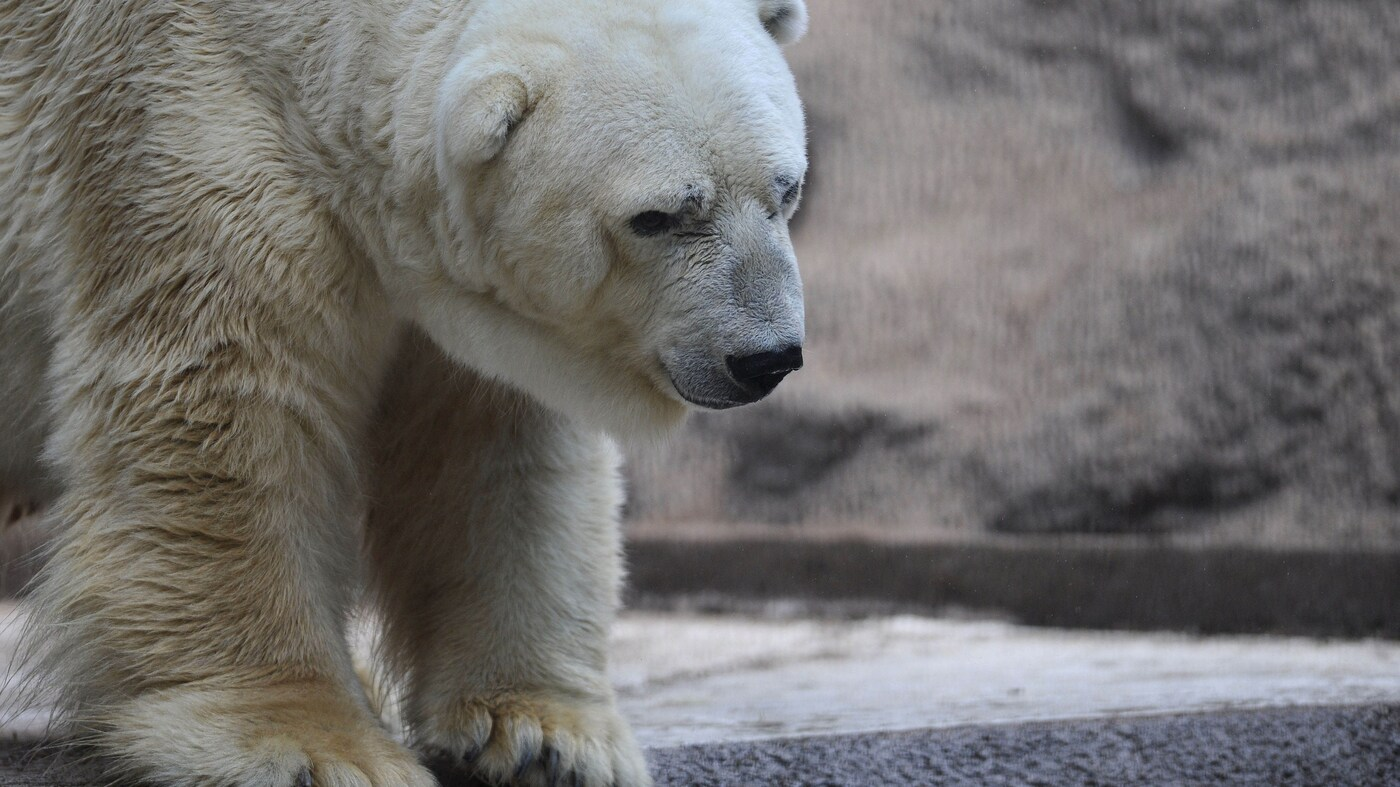 Zoo In Argentina Says 'Sad Bear' Too Old To Go To Canada
