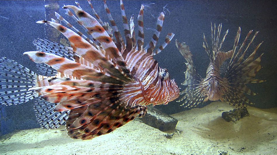 Two lionfish swim in an aquarium at the Nova Southeastern University Oceanographic Center in Dania Beach, Fla. (Suzette Laboy/AP)