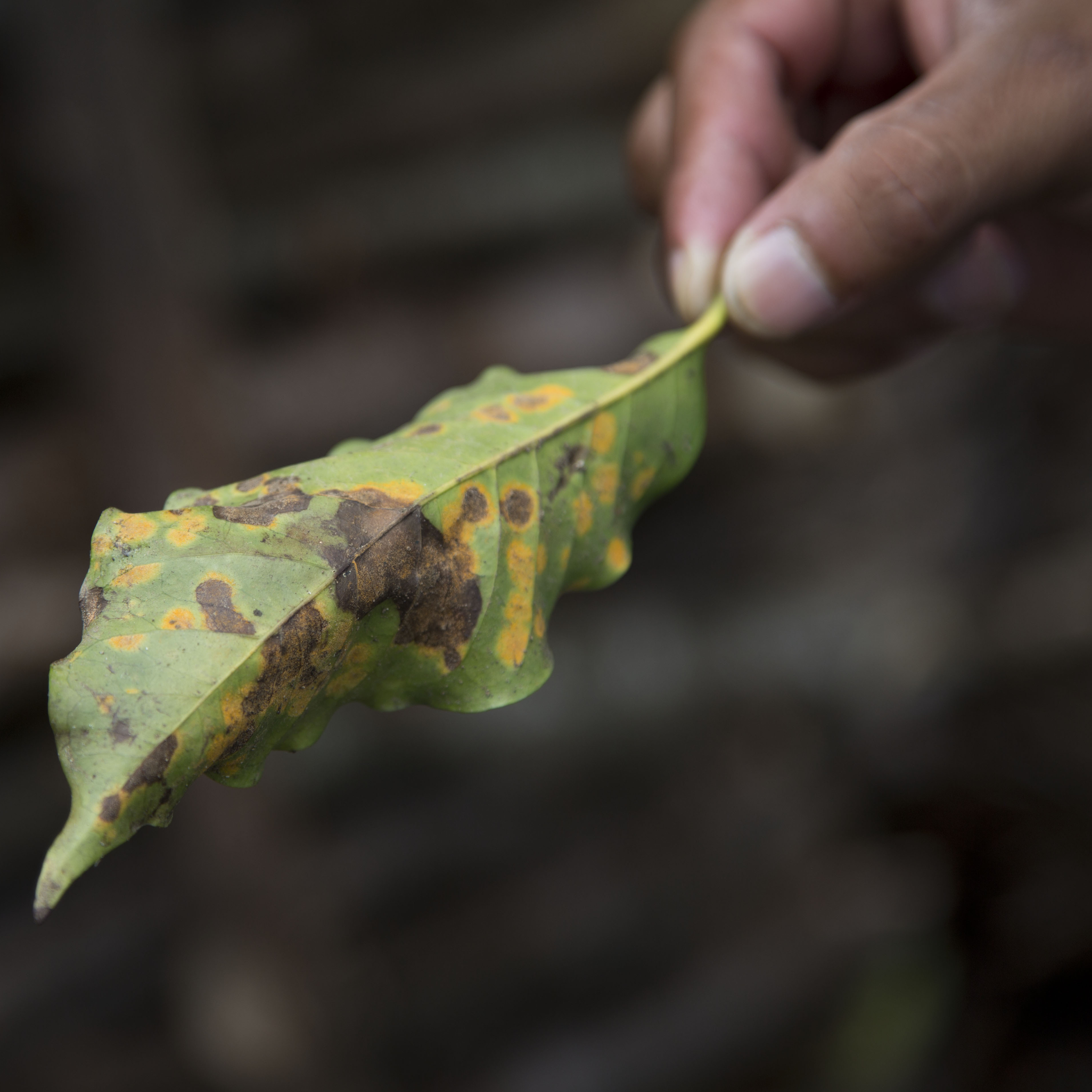 A coffee leaf damaged by coffee rust fungus in Ciudad Vieja, Guatemala, in May 2014. The airborne disease strikes coffee plants, flecking their leaves with spots and causing them to wither and fall off.