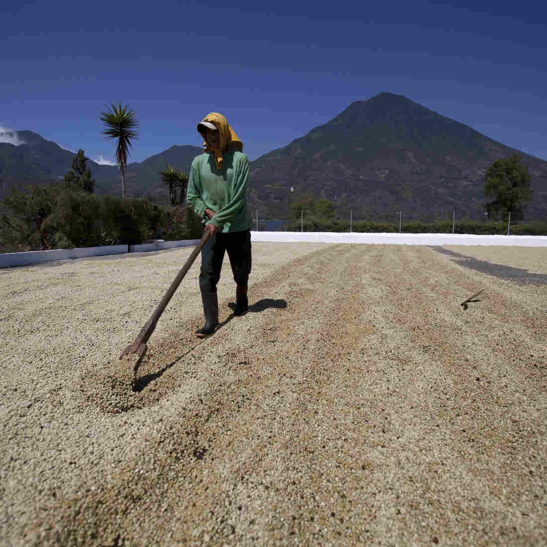 Rust Devastates Guatemala's Prime Coffee Crop And Its Farmers