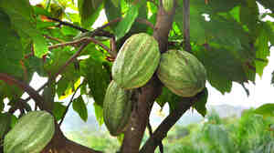 Maman Pye cacao, a Haitian supertree, can produce 20 times as many cacao pods as ordinary trees, and the pods themselves