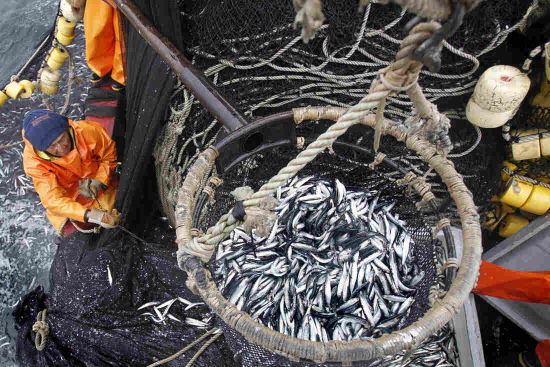 A fisherman pulls a basket filled with anchovies aboard a fishing boat off of Peru's norther