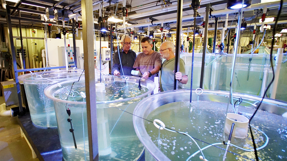 Yonathan Zohar, Jorge Gomezjurado and Odi Zmora check on bluefin tuna larvae in tanks at the University of Maryland Baltimore County's Institute of Marine and Environmental Technology. (Courtesy of Yonathan Zohar)