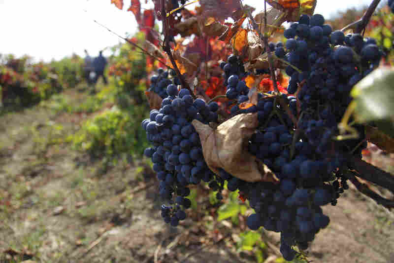 Grapes to make cabernet wine are readied to be harvested in southern Moldova in 2009. Only 3.6 million people live in Moldova, but the country is ranked 14th in the world among wine producers.