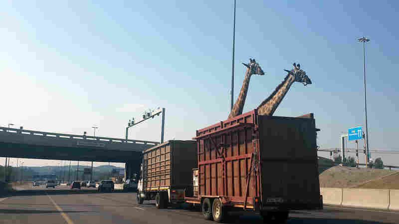 A pair of giraffes being transported in a crate Thursday near a low bridge on a freeway in Centurion, South Africa.