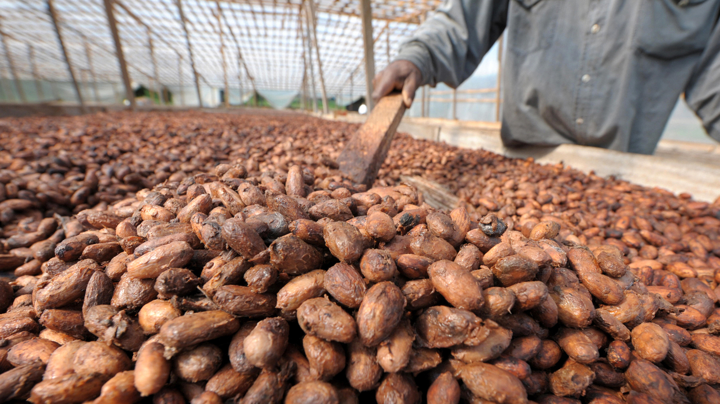 These Ivory Coast Cacao Farmers Had Never Tasted Chocolate : The ...