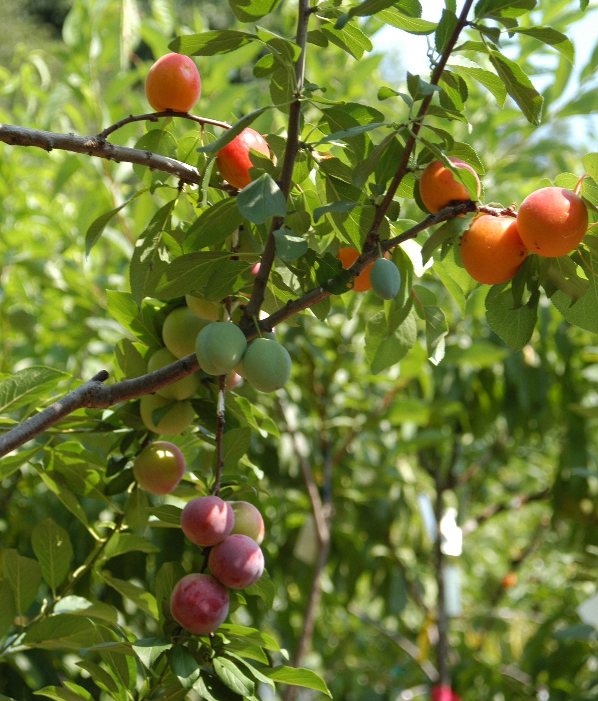 The gift of graft new york artist 39 s tree to grow 40 kinds of fruit the salt npr - Graft plum tree tips ...