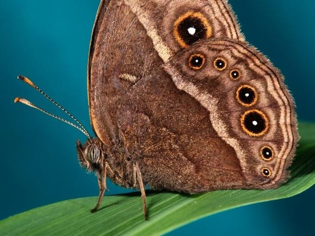 A male <em>Bicyclus anynana</em> butterfly.