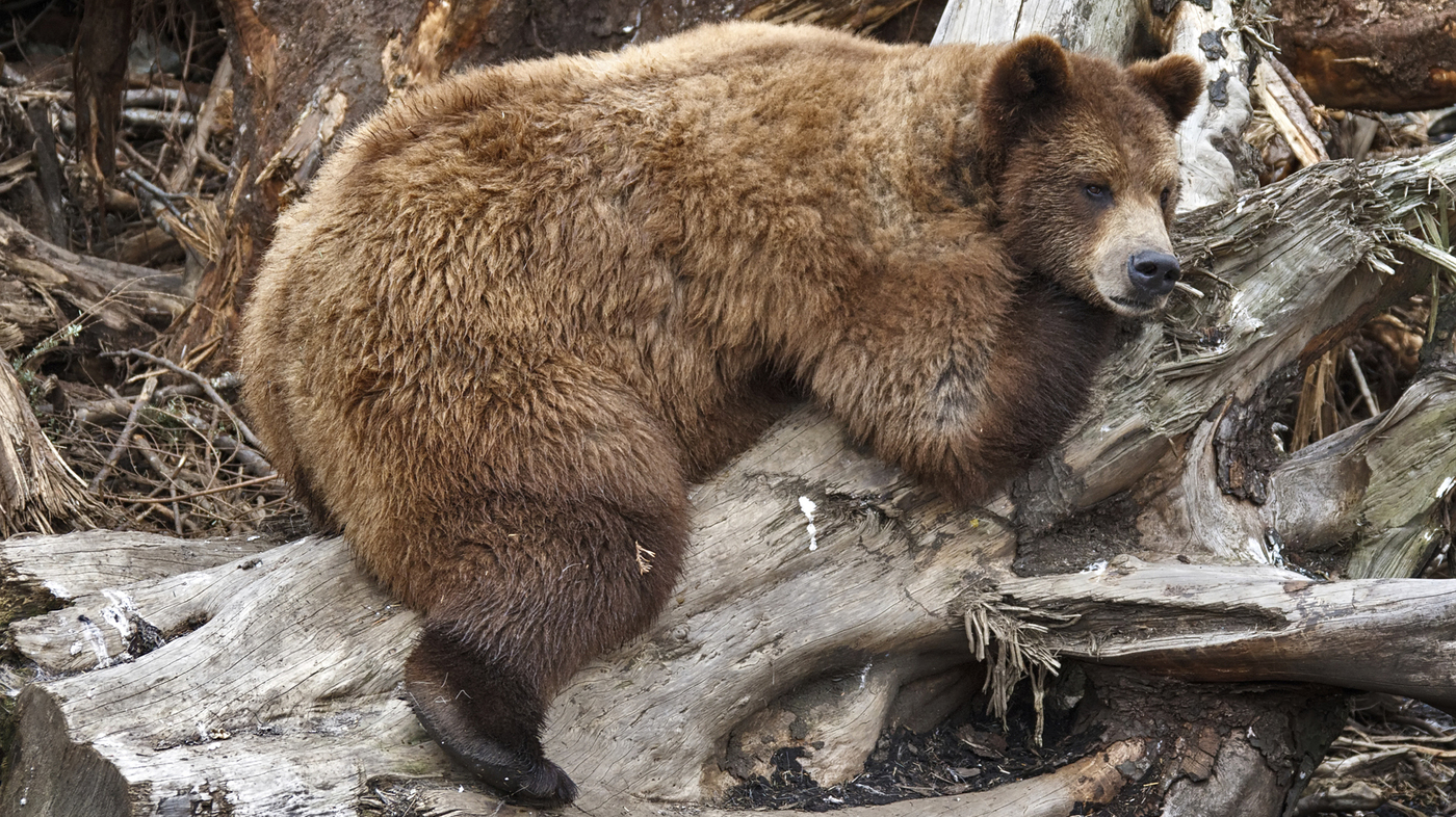 Why Fat Grizzlies Dont Get Diabetes Like We Do : Shots