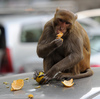It's Bananas: India Hires 'Monkey Mimics' To Scare Away Real Ones