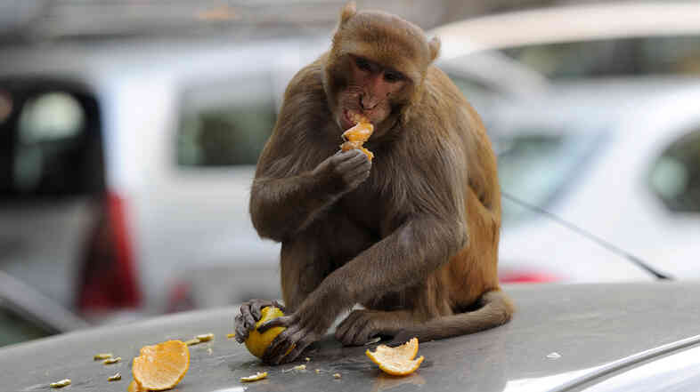 A monkey sits on a car and eats an orange snatched from a fruit vendor in New Delhi in 2012. The city has tried numerous schemes to bring its large and rambunctious monkey population under control. Now it is employing men to mimic the calls of the aggressive langur monkey.