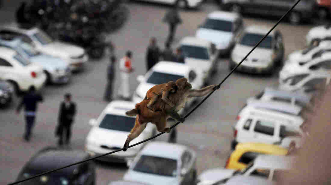 A macaque with a baby on its back balances on power lines above a parking lot in downtown New Delhi in 2012. Thousands of monkeys live on the rooftops downtown, but authorities do not kill them because many Indians consider monkeys sacred.