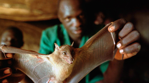 The usual suspect: Bats harbor dozens of deadly viruses, such as rabies and influenza. Several studies suggest that bats may also carry Ebola. (Getty Images)