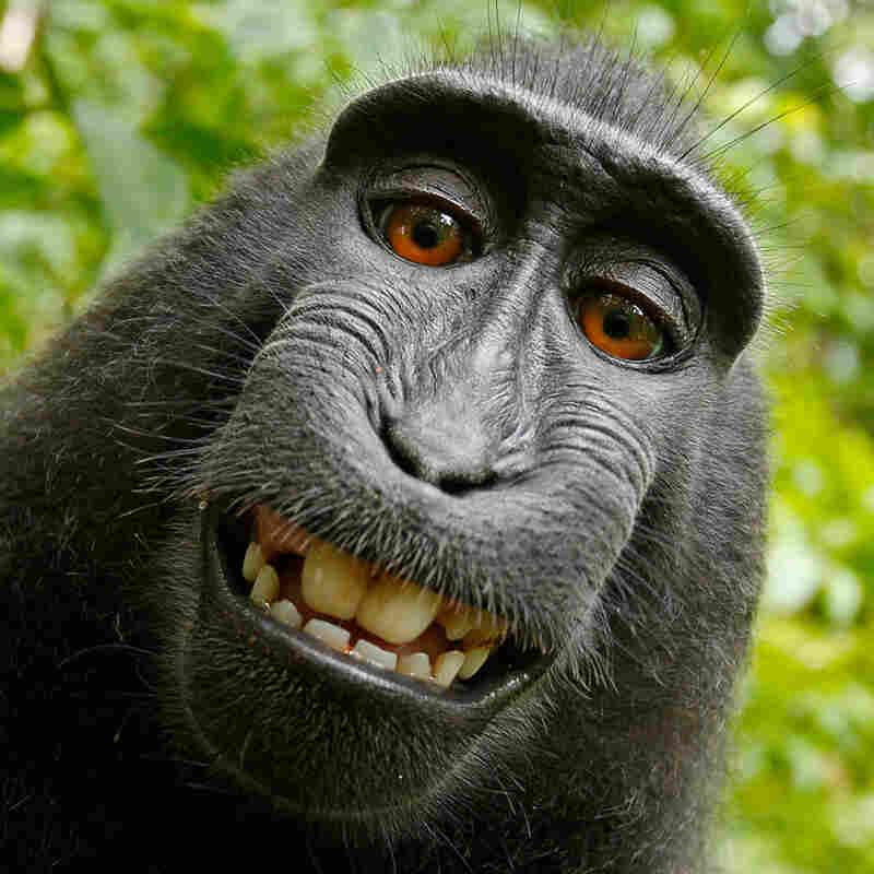 If A Monkey Takes A Photo, Who Owns The Copyright?
