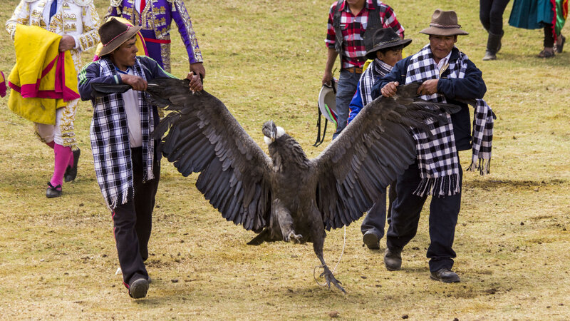 In Peru S Blood Festival It S The Condor Versus The Bull Parallels Npr