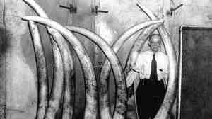 Louis E. Pratt, master ivory cutter for Pratt, Read & Co., shows off eight ivory tusks, April 1, 1955.