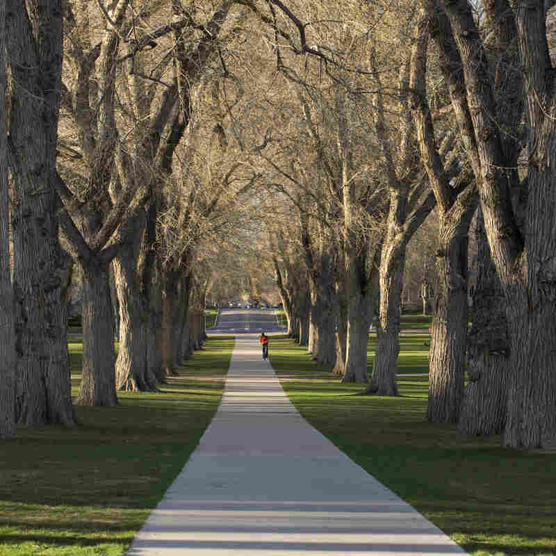 Sidewalk and elm trees at a university.