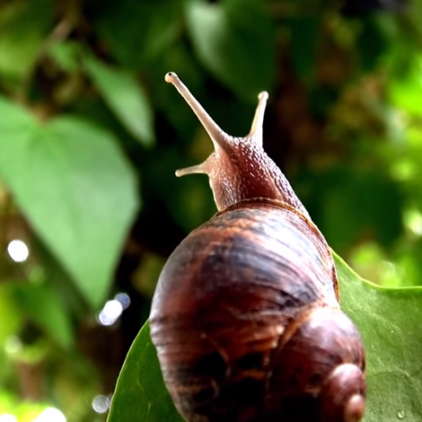 When Snails Lose Their Way