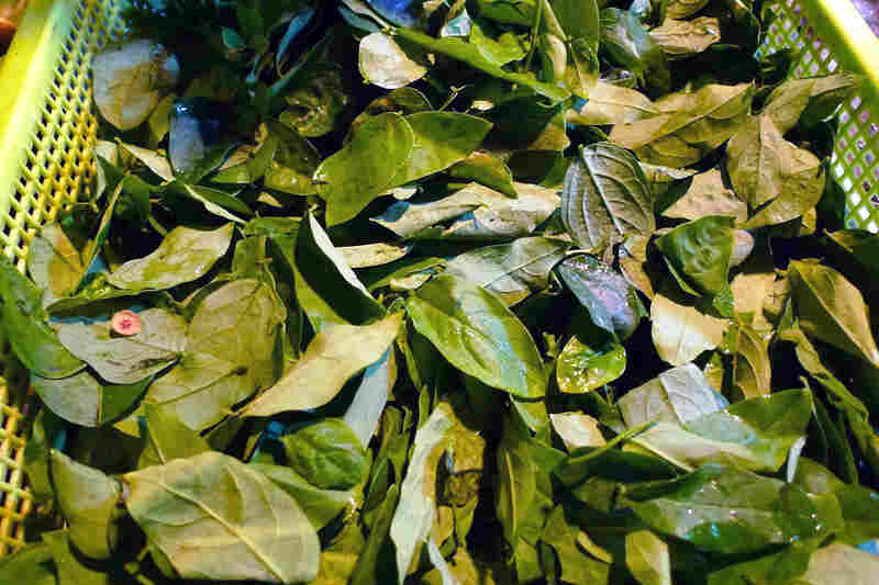 Uncooked sayur manis leaves can cause lung failure. Scientists say they don't yet know which compounds in the plant do damage to the lungs.