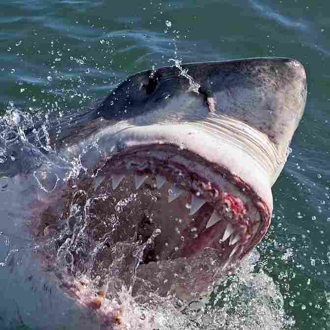 A great white shark — one of many you'll see on Discovery's Shark Week.