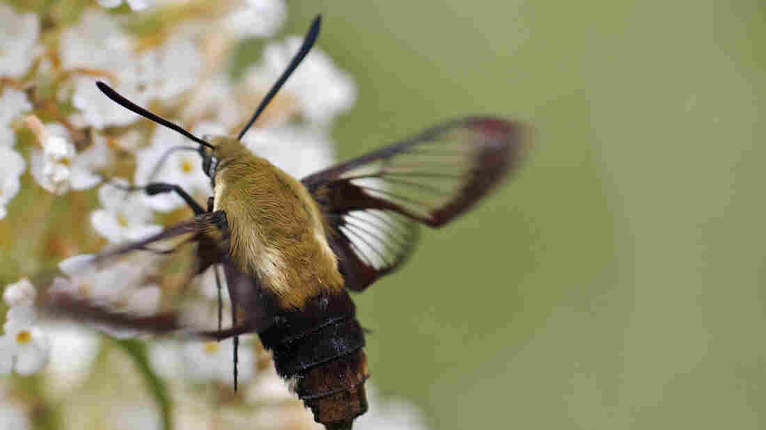Hummingbird moth — Hemaris gracilis