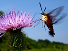 The hummingbird moth — Hemaris thysbe.