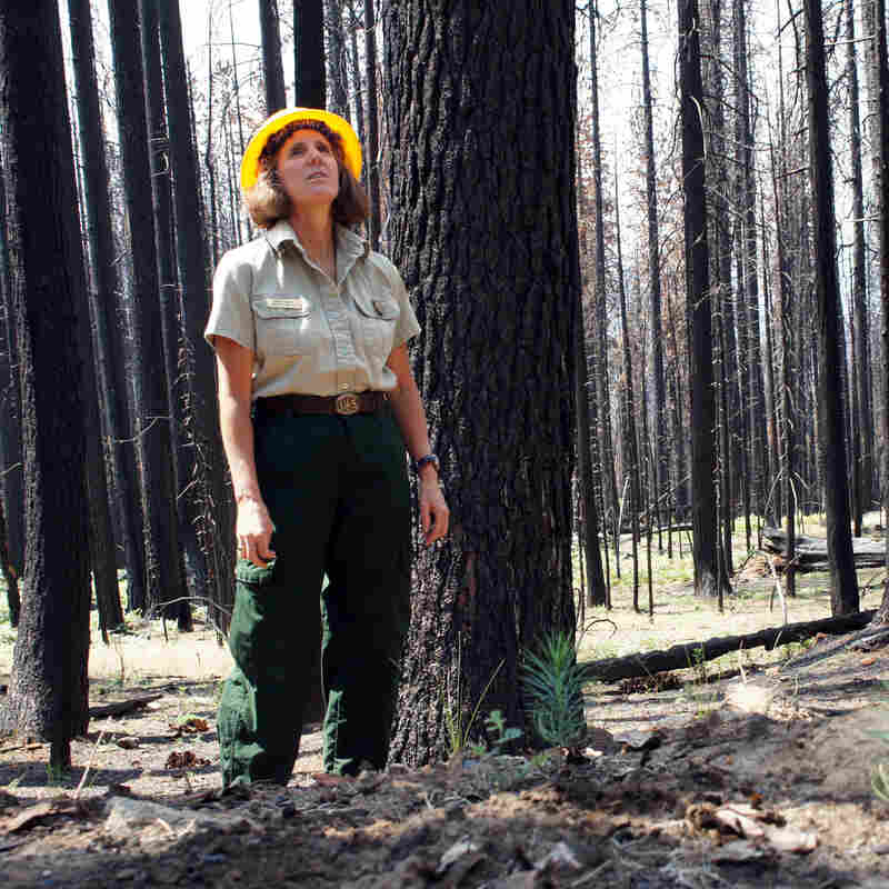 One Year After Calif. Rim Fire, Debate Simmers Over Forest Recovery