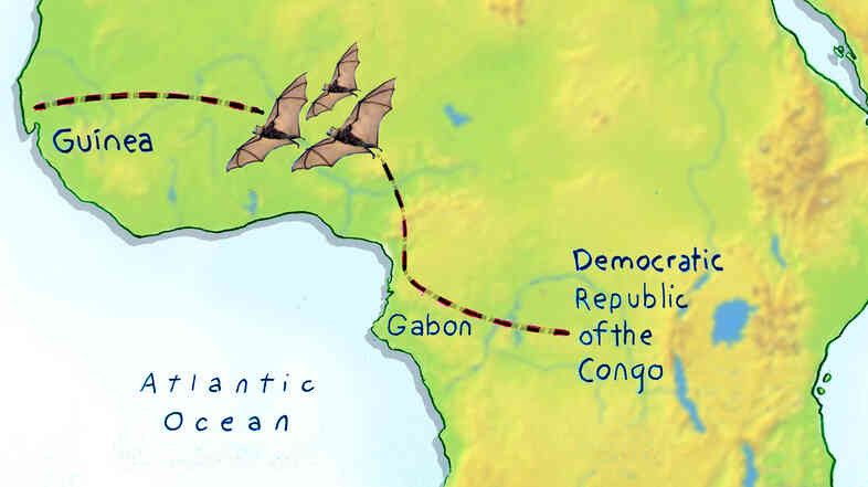 On the wings of bats? Scientists think Ebola may have spread from the heart of Africa to the western tip through migrating bats.