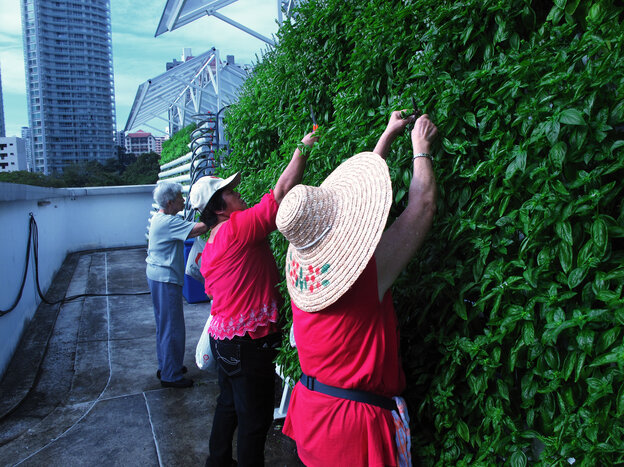"""A crew of volunteer """"aunties"""" weed and harvest basil at the ComCrop rooftop farm, set high above Singapore's Orchard Road."""
