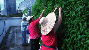 "A crew of volunteer ""aunties"" weed and harvest basil at the ComCrop rooftop farm, set high above Singapore's Orchard Road."
