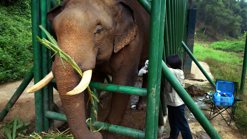 Elephants, unlike humans or civets, are herbivores. The fermentation happening in their gut as they break down cellulose helps remove the bitterness in the coffee beans. Here, an elephant receives medical treatment from the Golden Triangle Asian Elephant Foundation. (NPR)