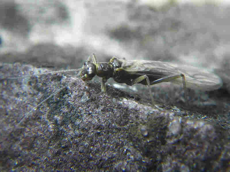 Lednia tumana is fish food that's long thrived in the glacier-fed streams of Montana's Glacier National Park. But as the glaciers are disappearing, so is the fly.