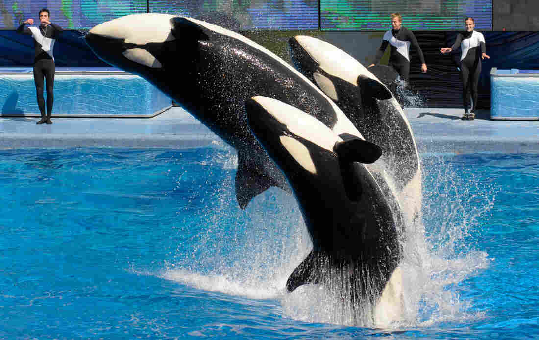 Killer whales perform in Shamu Stadium at the SeaWorld Orlando theme park in Florida. SeaWorld says it will not appeal a citation that prohibits trainers from performing with the whales.