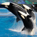 SeaWorld Won't Appeal Ban On Trainers Performing With Orcas