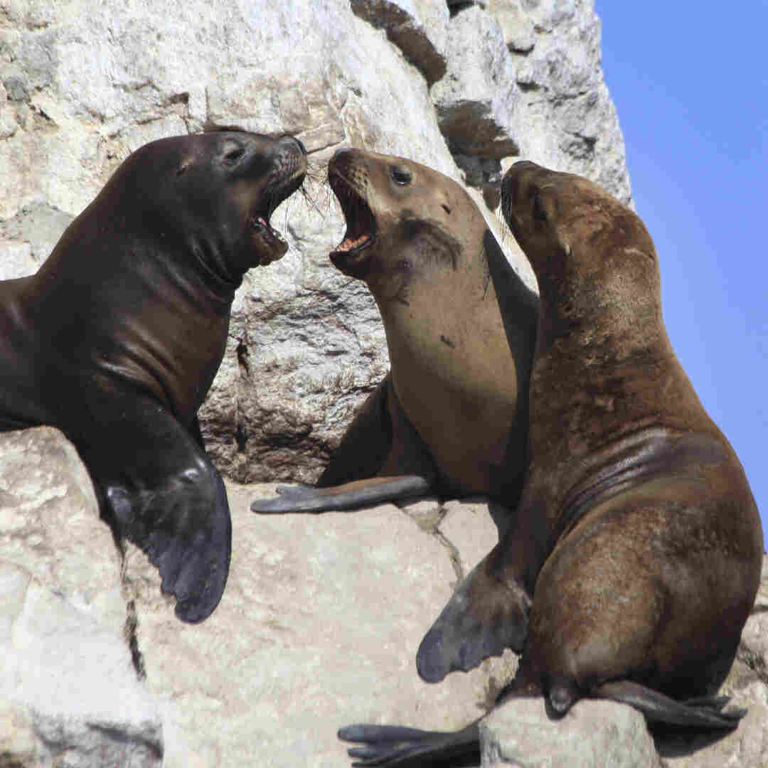 The ancient people of Peru have a spiritual connection to sea lions (shown here at Peru's Paracas national park). They may have had a bacterial connection as well.