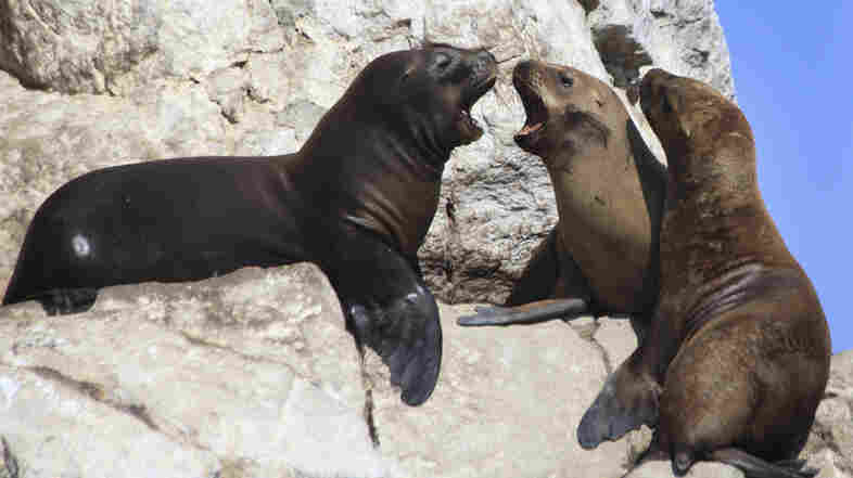The ancient people of Peru has a spiritual connection to sea lions (shown here at Peru's Paracas national park). They may have had a bacterial connection as well.