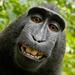 Who Owns A Monkey's Selfie? No One Can, U.S. Says