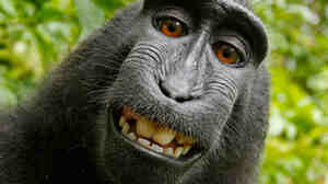 This 2011 image taken by a crested black macaque in Indonesia has ignited a debate over who owns the photo. The camera's owner says the image belongs to him. In its new manual, the U.S. Copyright Office disagrees.