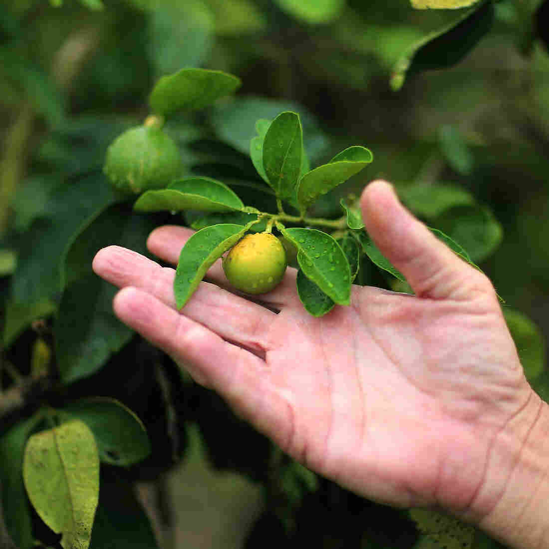 The 'Greening' Of Florida Citrus Means Less Green In Growers' Pockets