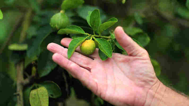 "An orange showing signs of ""citrus greening"" this spring in Fort Pierce, Fla."