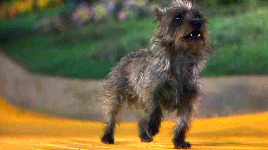 Terry the terrier earned $125 a week on the set of The Wizard of Oz, more than many of the human actors in the film.