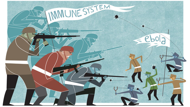 Too strong, too late: A person's immune system eventually gets its act together and mounts a massive attack against Ebola. But in the end, the immune system overreacts and causes huge amounts of collateral damage.