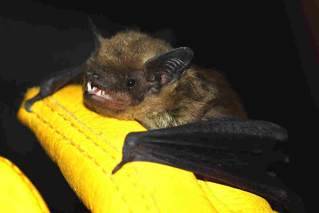 """Big brown bats like this one are relatively common in urban areas, sometimes roosting in buildings. Contrary to popular belief, bats rarely carry rabies and are not rodents. They belong to the order Chiroptera, which means """"hand-wing."""""""