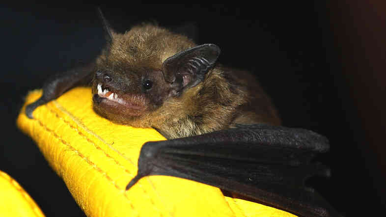 "Big brown bats like this one are relatively common in urban areas, sometimes roosting in buildings. Contrary to popular belief, bats rarely carry rabies and are not rodents. They belong to the order Chiroptera, which means ""hand-wing."""