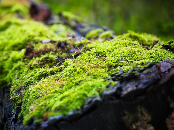 Moss growing on a fallen tree.